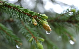 Preview wallpaper Spruce twigs, buds, water droplets