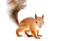 Preview wallpaper Squirrel, look, tail, white background