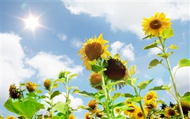 Preview wallpaper Sunflowers, sky, glare, white clouds, summer