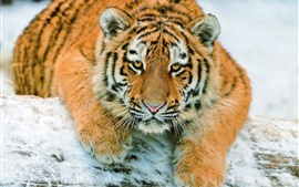 Preview wallpaper Tiger look at you, snow, face, rest