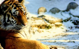 Preview wallpaper Tiger look back, rest, snow, wildlife