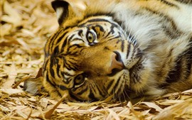 Preview wallpaper Tiger, rest, face, look, nose, eyes