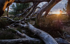 Preview wallpaper Tree roots, sunset