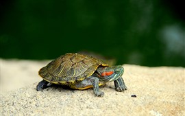 Tortue, animal de compagnie