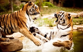 Preview wallpaper Two tigers play water