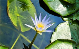 Water lily, blue purple petals, pond, green leaves