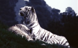 Preview wallpaper White tigers, rest, grass, dusk