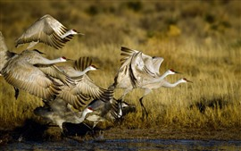 Preview wallpaper Wildlife, birds flight, swamp