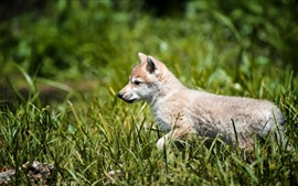 Preview wallpaper Wolf cub walk in grass