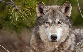 Preview wallpaper Wolf, front view, look, wildlife
