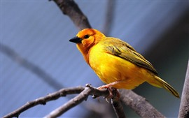 Aperçu fond d'écran Oiseau en plumes jaunes, mésange, branche d'arbre