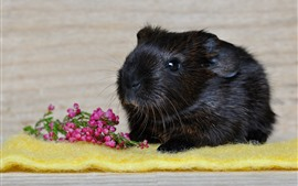 Preview wallpaper Black guinea pig, pink flowers