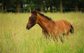 Brown horse, grass, summer
