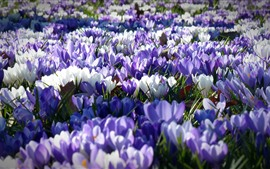 Preview wallpaper Crocus, many white and purple flowers, garden