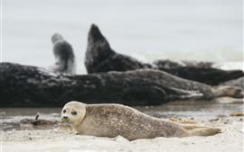 Cute fur seal, beach