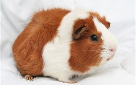 Preview wallpaper Cute guinea pig, pet, fluffy