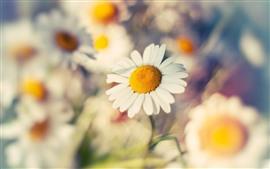 Daisy macro photography, flowers, hazy