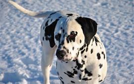 Dálmata, perro, nieve, invierno