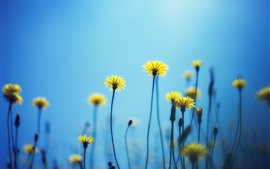 Dandelions, yellow flowers, blue background