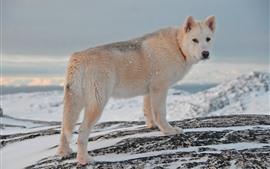 犬の振り返り、冬、雪