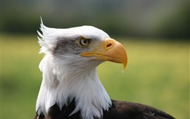 Preview wallpaper Eagle, head, side view, beak