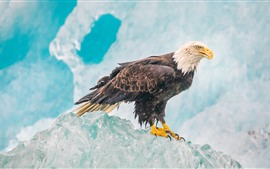 Preview wallpaper Eagle, ice, beak
