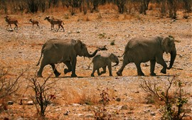 Elephants, family, walk
