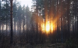 Forest, trees, sun rays, sunset, winter