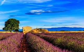 Preview wallpaper France, Provence, lavender flowers field, tree, blue sky
