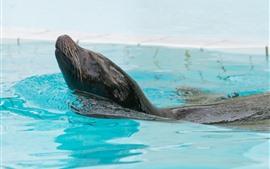 Preview wallpaper Fur seal, swimming pool