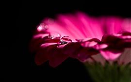 Gerbera, flor rosa, pétalas, gotas de água