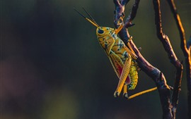 Preview wallpaper Grasshopper, insect, tree branch