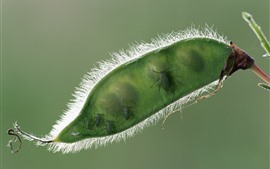 Green bean, insect