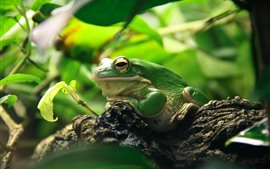 Green frog, leaves, animal