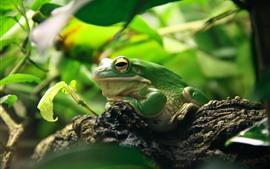 Sapo verde, folhas, animais