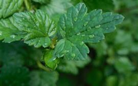 Folhas de groselha verde, gotas de água