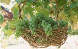 Зеленый виноград, корзина, урожай