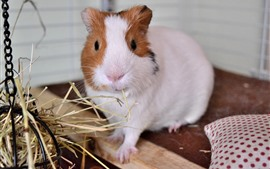 Preview wallpaper Guinea pig, pet