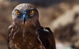 Falcão, águia marrom, bico, olhos, pássaro