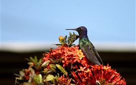 Hummingbird, bird, red flowers