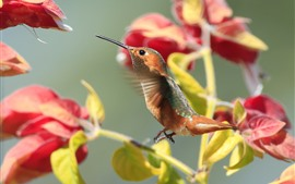 Preview wallpaper Hummingbird flying, red bougainvillea flowers
