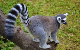 Preview wallpaper Lemur, tail, cute animal