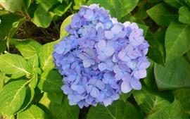 壁紙のプレビュー 薄紫のアジサイ、花、緑の葉、春