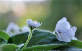 Маленькие белые цветы, стебель, зеленые листья