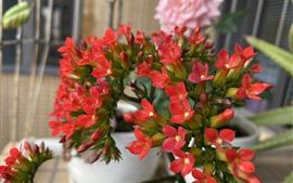 Много маленьких красных цветов, комнатное растение