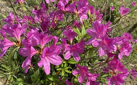 Preview wallpaper Many pink azalea, flowers, park