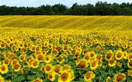Muitos girassóis, campos, flores amarelas