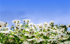 Preview wallpaper Many white daisies, petals, blue sky