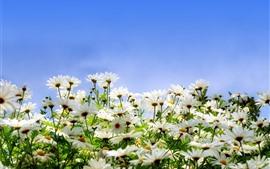 Aperçu fond d'écran Beaucoup de marguerites blanches, pétales, ciel bleu