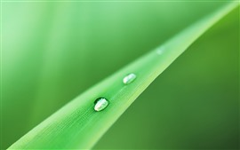 One grass leaf, water droplets, green